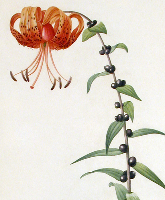 Lilium Tigrinum Stock Photos Images. Royalty Free Lilium Tigrinum ...