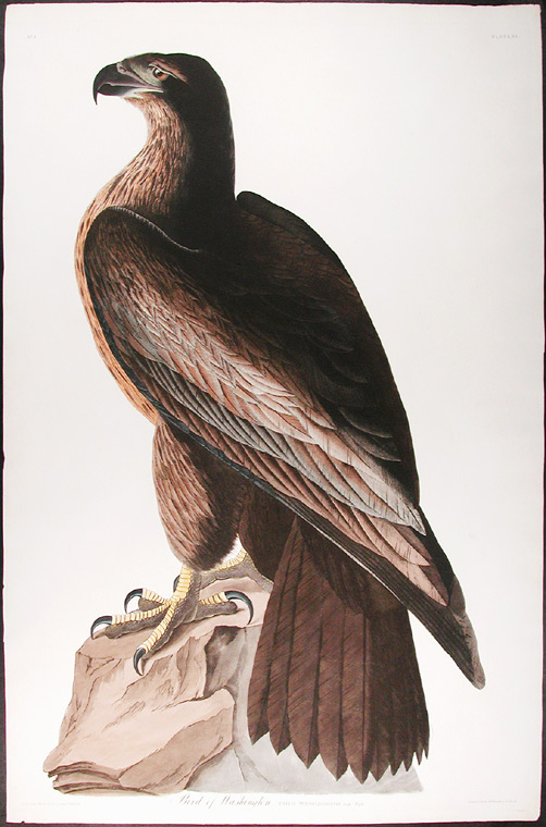 Bird of Washington. Falco Washingtonii. Aud. Male. John James AUDUBON.