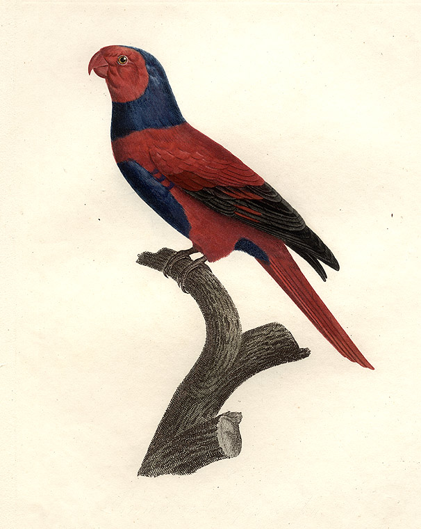 [Perruche à Chaperon Bleu (Bechstein's Violet-necked Lory [Eos squamata riciniata])]. Jacques BARRABAND, 1767/.