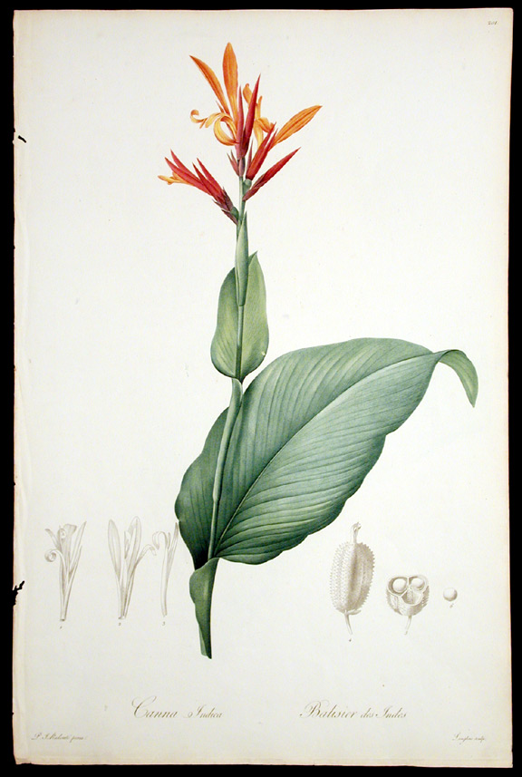 Canna Indica / Balsier des Indes [Socalled-Yellow Canna]. Pierre-Joseph REDOUTÉ.