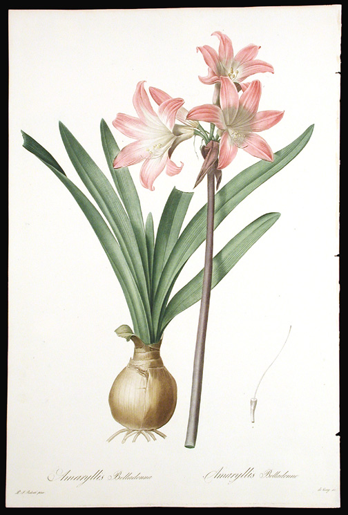Amaryllis Belladonna / Amaryllis Belladonne [Belladonna Lily, March Lily]. Pierre-Joseph REDOUTÉ.