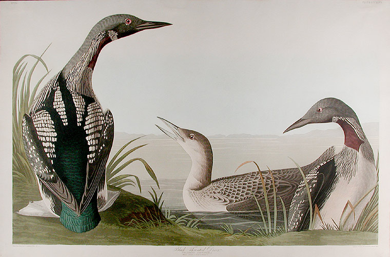 Black-Throated Diver [Arctic Loon]. John James AUDUBON.