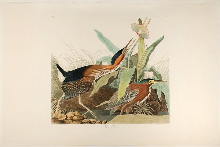 Green Heron. John James AUDUBON.