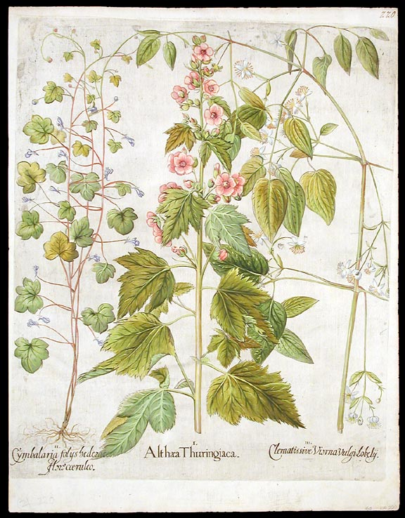 Althæa Thuringiaca [Thuringian tree mallow]; Cymbalaria folys bederaicis flore coeruleo [Kenilworth ivy or ivy-leaved toadflax]; Clematissive Visrna Vulgi Lobely [Traveler's joy]. Basil BESLER.