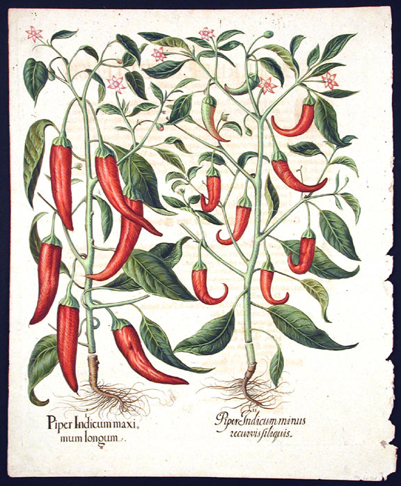 [Red peppers with long, pendant fruit] Piper Indicum maximum longum; Piper Indicum minus recurvis siliquis. Basil BESLER.