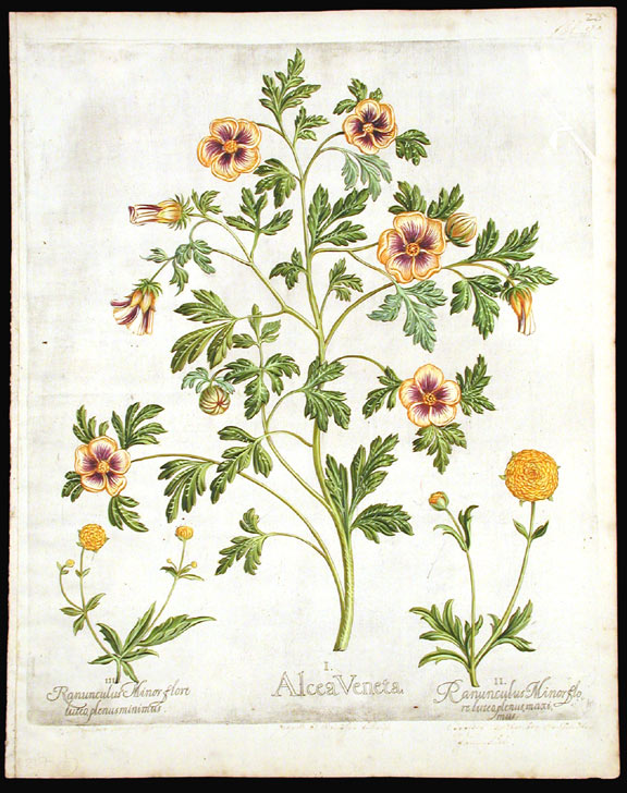 [Flower-of-an-hour]Alcea Veneta; [Dbouble-flowered Buttercups] Ranunculus Minor flore luteo plenus maximus; Ranunculus Minor flore luteo plenus minimus. Basil BESLER.