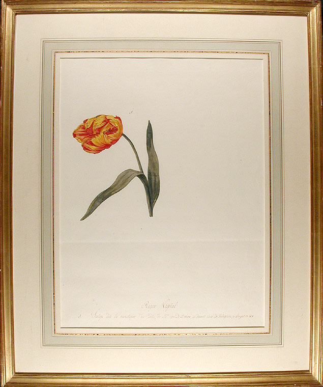 Tulipa cultivar 'La Monstreuse ('La Monstreuse' tulip). Jean-Charles VERBRUGGE.