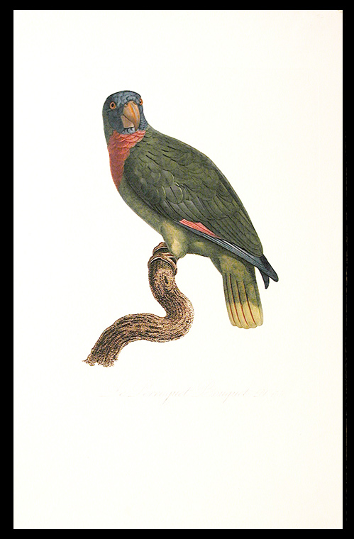 [Le Perroquet Bouquet (Red-necked Amazon [Amazona arausiaca])]. Jacques BARRABAND, 1767/.