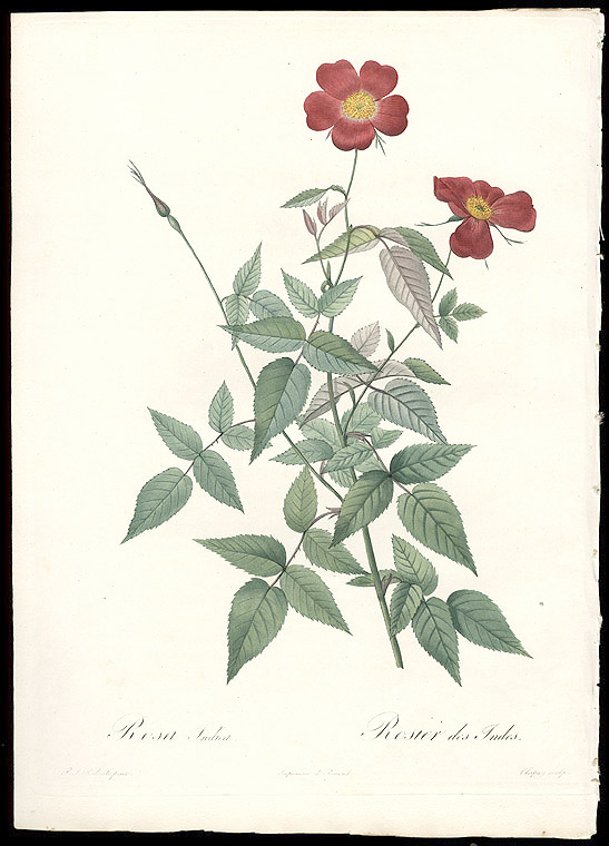 Rosa Indica / Rosier des Indes [Monthly Rose]. After Pierre-Joseph REDOUTÉ.