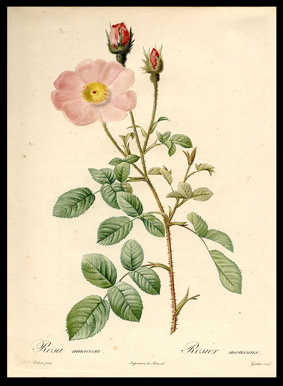 Rosa muscosa / Rosier mousseux [Single Moss Rose 'Andrewsii']. After Pierre-Joseph REDOUTÉ.