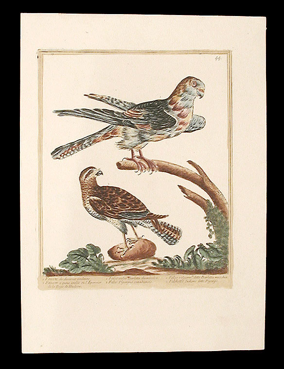 Faucon de diverses couleurs [Multi-coloured Falcon]; Faucon a queue anelée ou l'Epervier de la Baye de Hudson [Canadian Falcon]. Maddalena BOUCHARD.