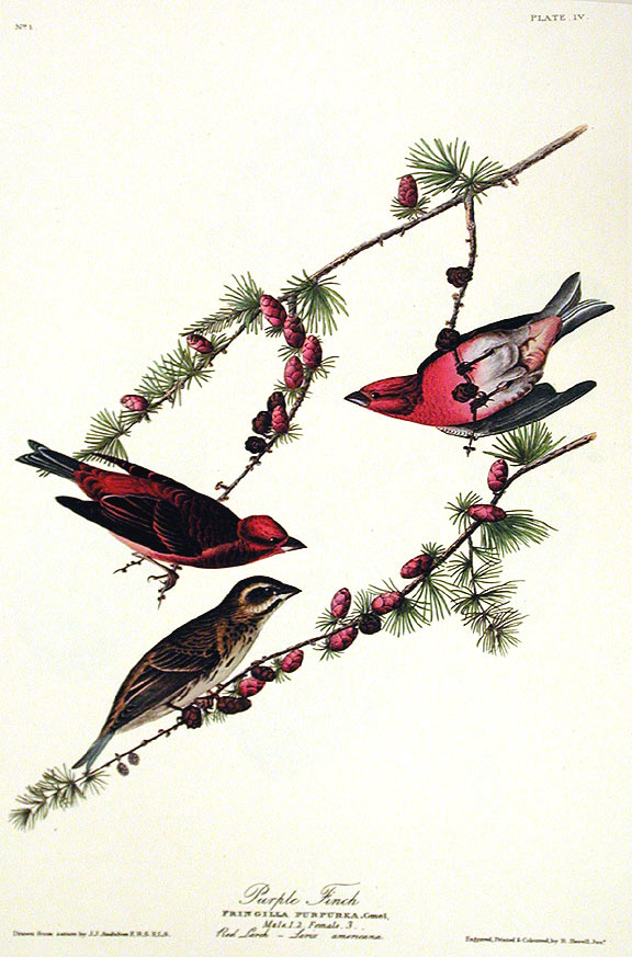 "Purple Finch. From ""The Birds of America"" (Amsterdam Edition). John James AUDUBON."
