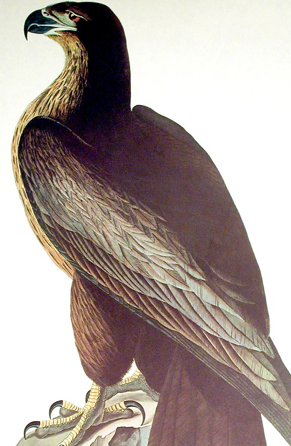 "Bird of Washington. From ""The Birds of America"" (Amsterdam Edition). John James AUDUBON."