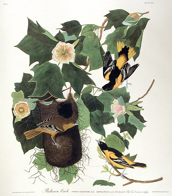 "Baltimore Oriole. From ""The Birds of America"" (Amsterdam Edition). John James AUDUBON."