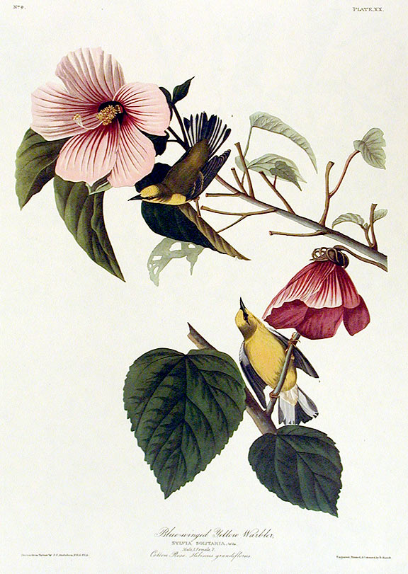 """Blue-winged Yellow Warbler. From """"The Birds of America"""" (Amsterdam Edition). John James AUDUBON."""