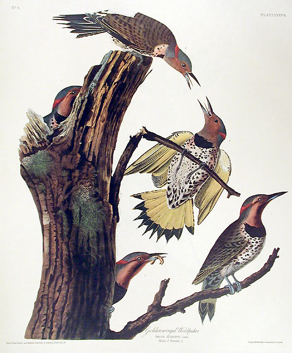 "Golden-winged Woodpecker. From ""The Birds of America"" (Amsterdam Edition). John James AUDUBON."
