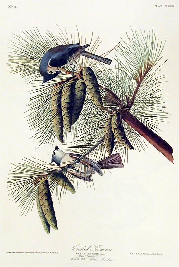 "Crested Titmouse. From ""The Birds of America"" (Amsterdam Edition). John James AUDUBON."