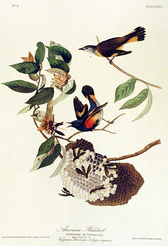 "American Redstart. From ""The Birds of America"" (Amsterdam Edition). John James AUDUBON."