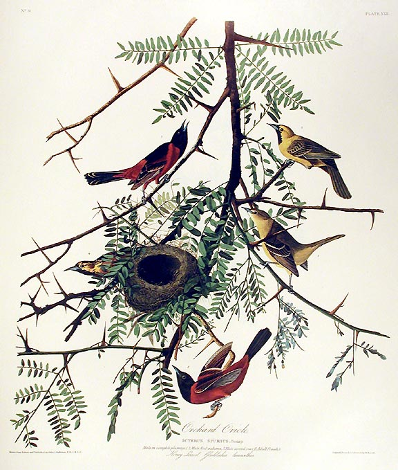 "Orchard Oriole. From ""The Birds of America"" (Amsterdam Edition). John James AUDUBON."