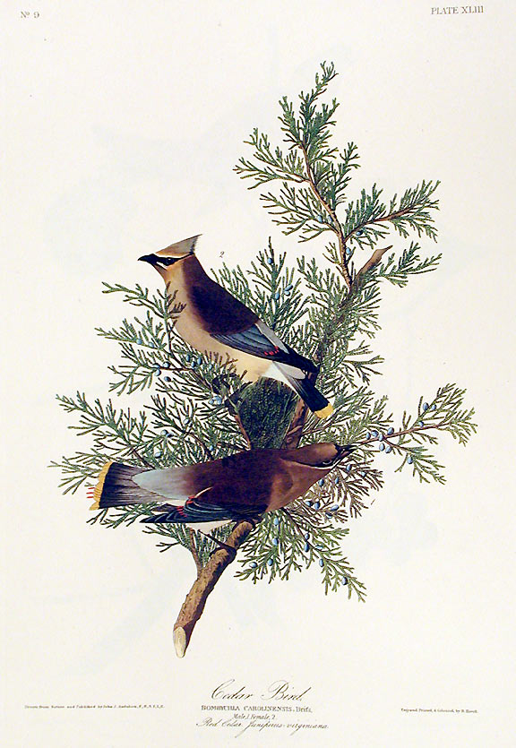 "Cedar Bird. From ""The Birds of America"" (Amsterdam Edition). John James AUDUBON."