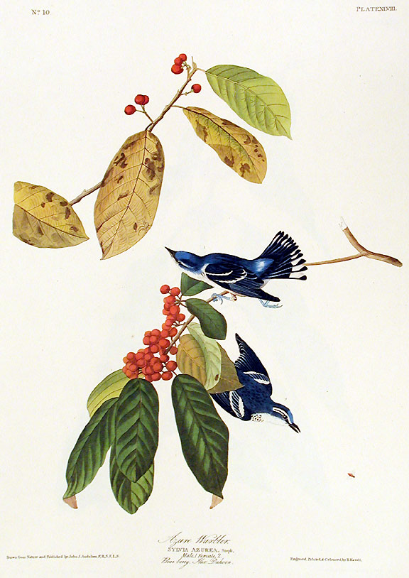 "Azure Warbler. From ""The Birds of America"" (Amsterdam Edition). John James AUDUBON."