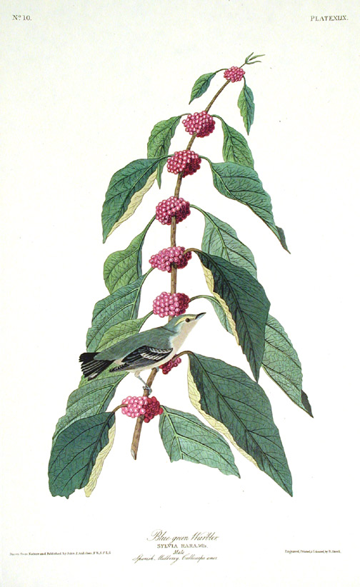 "Blue-green Warbler. From ""The Birds of America"" (Amsterdam Edition). John James AUDUBON."
