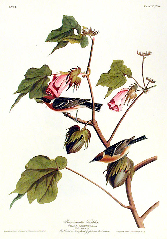 "Bay-breasted Warbler. From ""The Birds of America"" (Amsterdam Edition). John James AUDUBON."