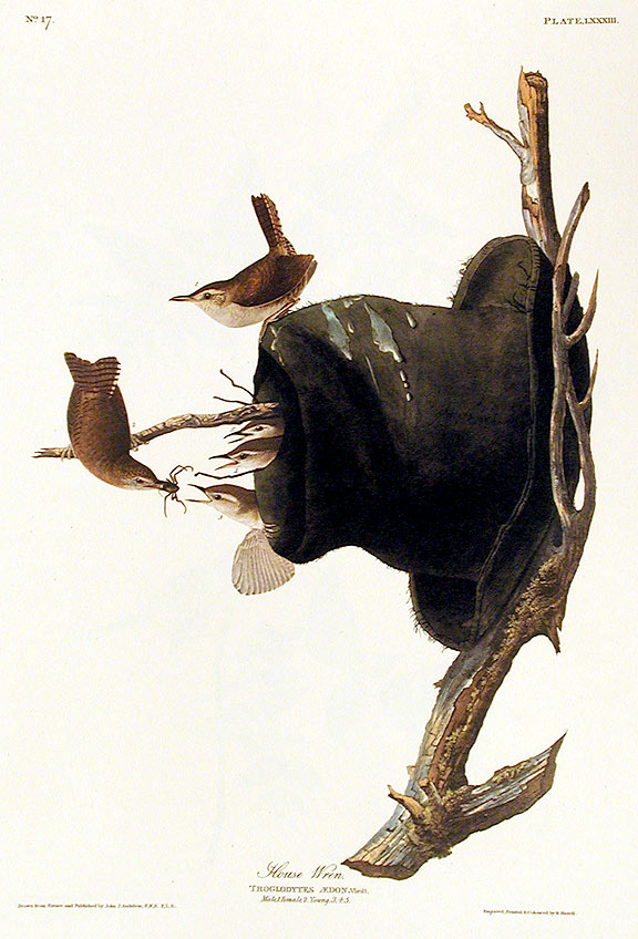 "House Wren. From ""The Birds of America"" (Amsterdam Edition). John James AUDUBON."