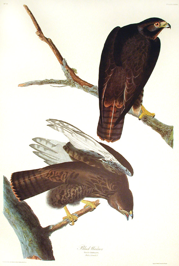 "Black Warrior. From ""The Birds of America"" (Amsterdam Edition). John James AUDUBON."
