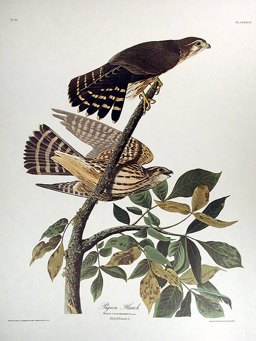 "Pigeon Hawk. From ""The Birds of America"" (Amsterdam Edition). John James AUDUBON."
