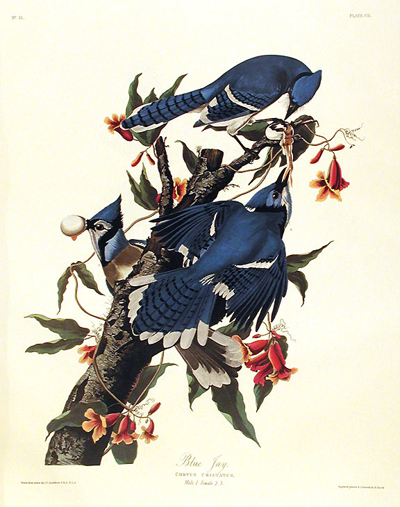 "Blue Jay. From ""The Birds of America"" (Amsterdam Edition). John James AUDUBON."