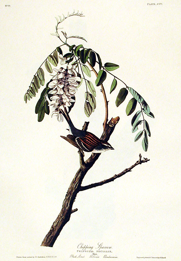 """Chipping Sparrow. From """"The Birds of America"""" (Amsterdam Edition). John James AUDUBON."""