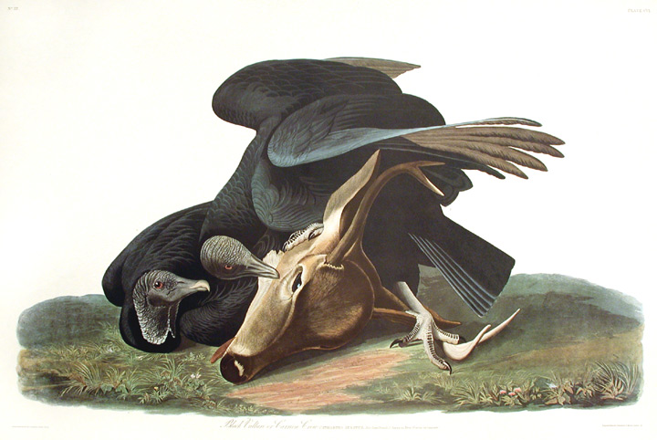 "Black Vulture or Carrion Crow. From ""The Birds of America"" (Amsterdam Edition). John James AUDUBON."
