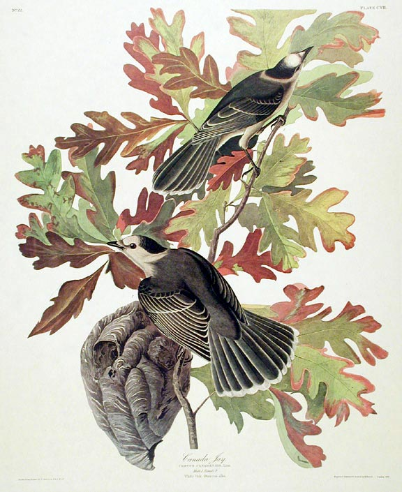 "Canada Jay. From ""The Birds of America"" (Amsterdam Edition). John James AUDUBON."