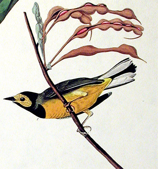 """Hooded Warbler. From """"The Birds of America"""" (Amsterdam Edition). John James AUDUBON."""