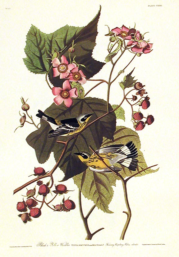 "Black & Yellow Warbler. From ""The Birds of America"" (Amsterdam Edition). John James AUDUBON."