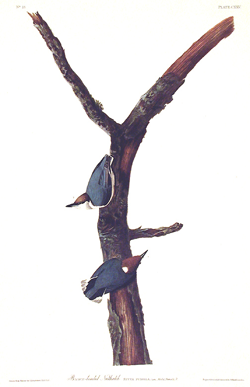 """Brown headed Nuthatch. From """"The Birds of America"""" (Amsterdam Edition). John James AUDUBON."""