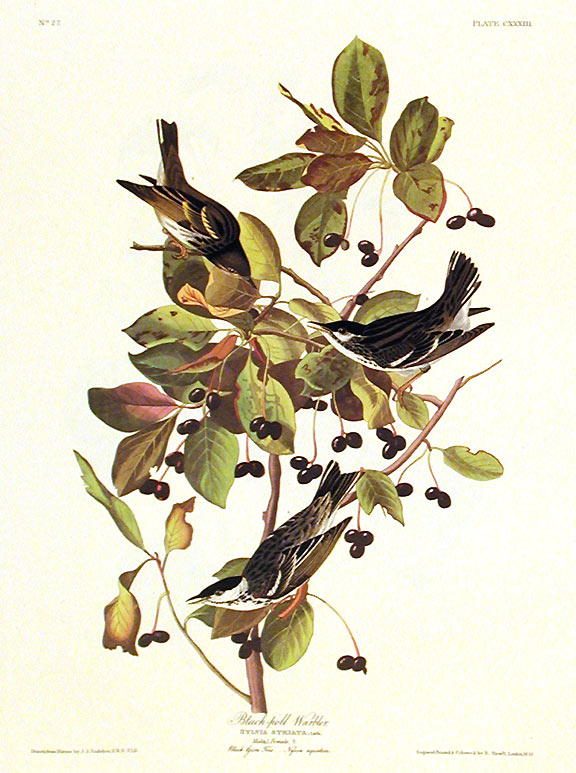 "Black-poll Warbler. From ""The Birds of America"" (Amsterdam Edition). John James AUDUBON."