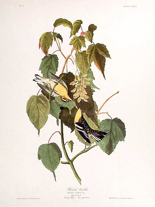 "Hemlock Warbler. From ""The Birds of America"" (Amsterdam Edition). John James AUDUBON."
