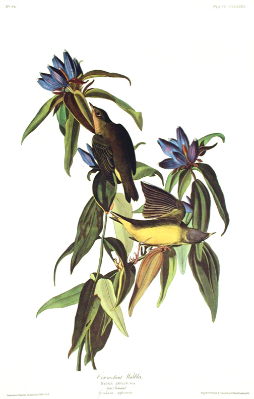"Connecticut Warbler. From ""The Birds of America"" (Amsterdam Edition). John James AUDUBON."