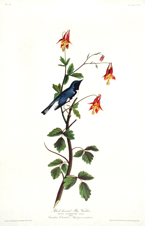 "Black-throated Blue Warbler. From ""The Birds of America"" (Amsterdam Edition). John James AUDUBON."