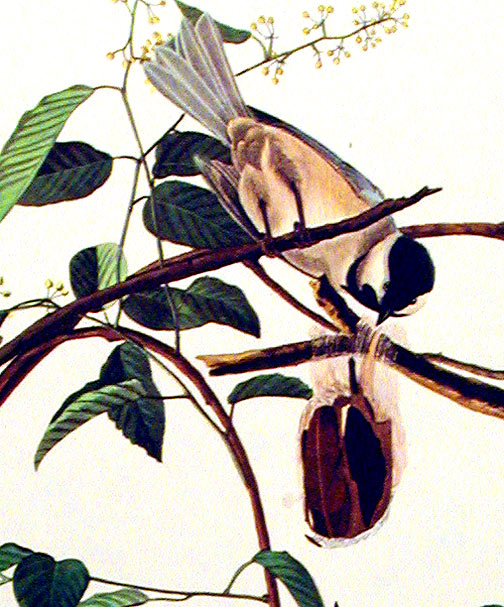 "Black-capped Titmouse. From ""The Birds of America"" (Amsterdam Edition). John James AUDUBON."
