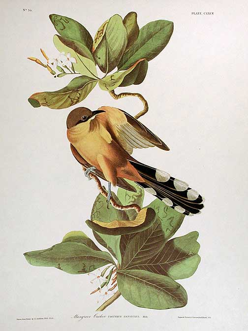 "Mangrove Cuckoo. From ""The Birds of America"" (Amsterdam Edition). John James AUDUBON."