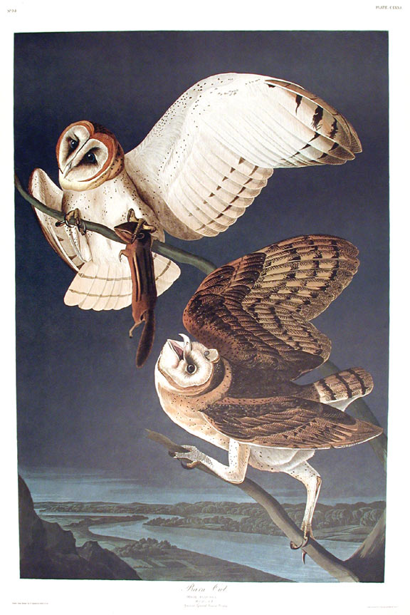 "Barn Owl. From ""The Birds of America"" (Amsterdam Edition). John James AUDUBON."