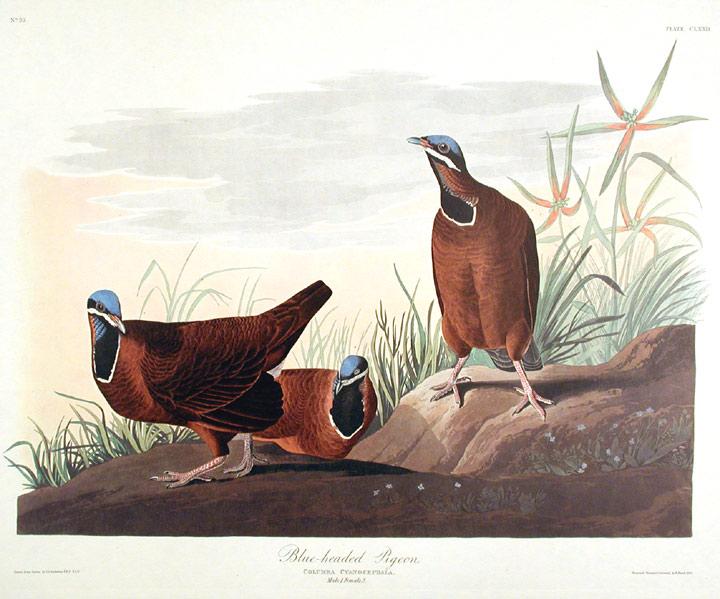 "Blue-headed Pigeon. From ""The Birds of America"" (Amsterdam Edition). John James AUDUBON."