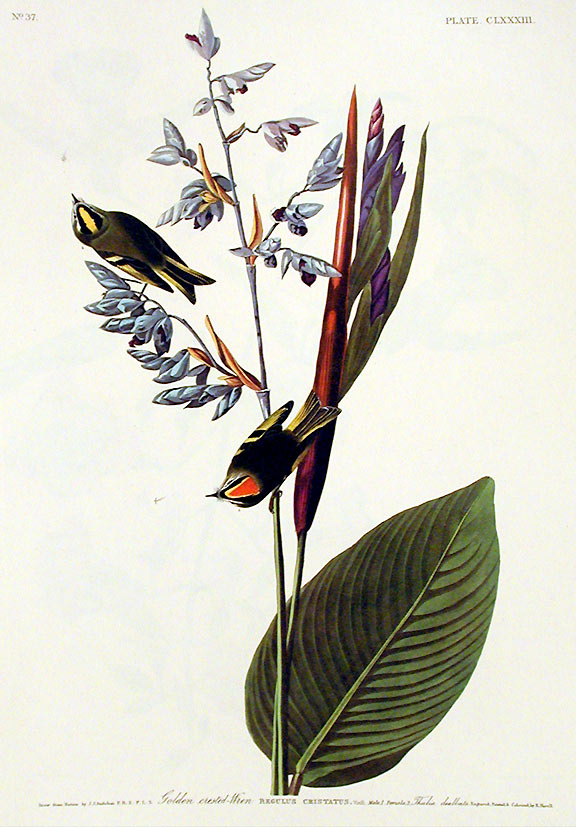 "Golden crested Wren. From ""The Birds of America"" (Amsterdam Edition). John James AUDUBON."