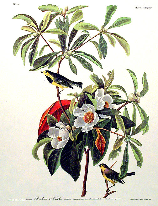 "{rtf1ansideff0{fonttbl {f0fswiss MS Sans Serif;}}pardf0fs20 Bachman's Warbler. From ""The Birds of America"" (Amsterdam Edition)}. John James AUDUBON."