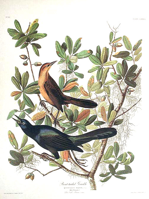 "Boat-tailed Grackle. From ""The Birds of America"" (Amsterdam Edition). John James AUDUBON."