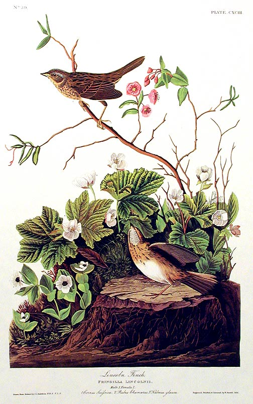 """Lincoln Finch. From """"The Birds of America"""" (Amsterdam Edition). John James AUDUBON."""