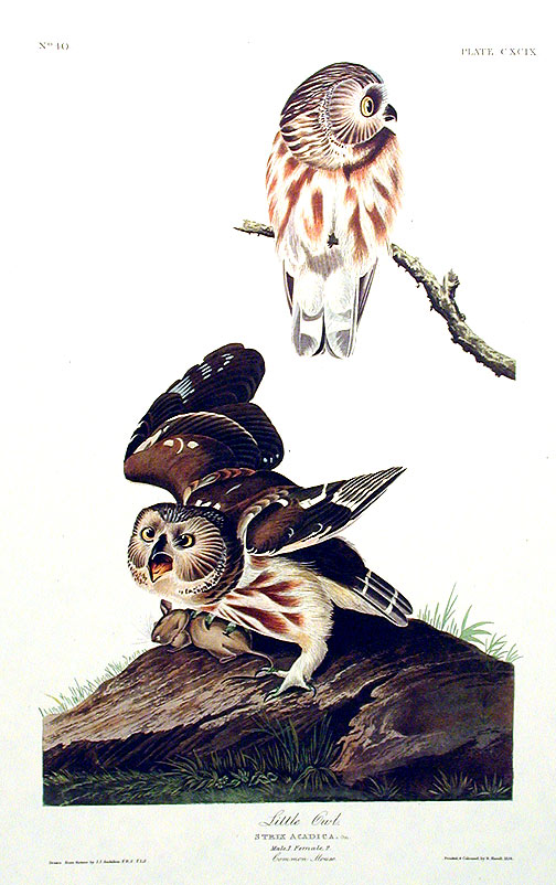 "Little Owl. From ""The Birds of America"" (Amsterdam Edition). John James AUDUBON."